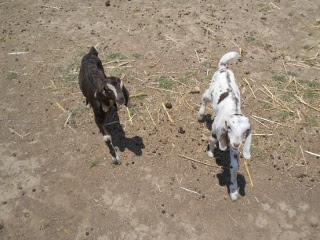 New 2012 Goat Doe and Buck Annie and Spot