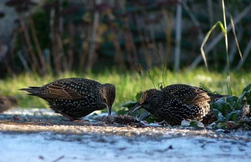 23715 - Starling, Pontarddulais