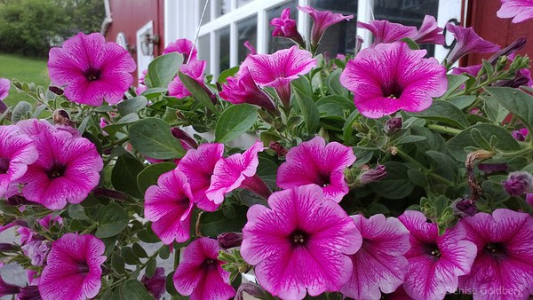 petunias in pink, photo by phone