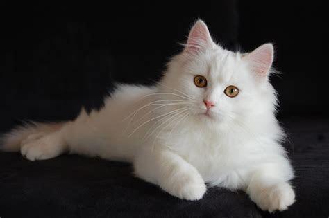 gambar kucing anggora putih kucingorg