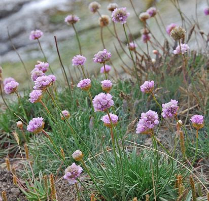 "Armeria maritima 'Pt. Arena' ""Sea Thrift"" - love this - it looks like regular old grass until it blooms in the spring!"