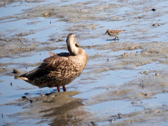 Ed Gaillard: birds &emdash; Duck and Peep, Spuyten Duyvil Creek