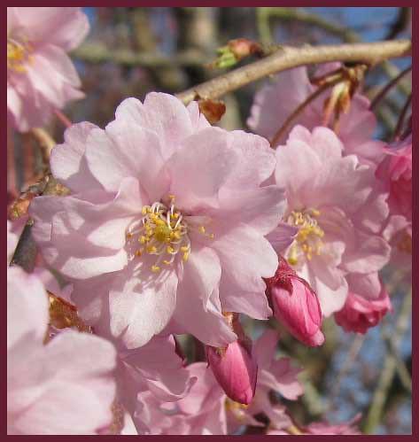 08 pink sakura joy