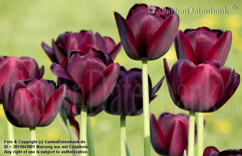 Tulipa Triumph Recreado