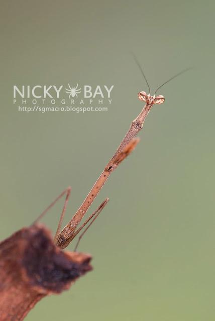 Stick Mantis? (Mantodea) - DSC_7034