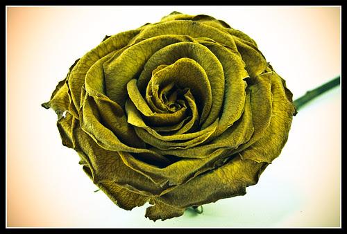Rosa antigua IV