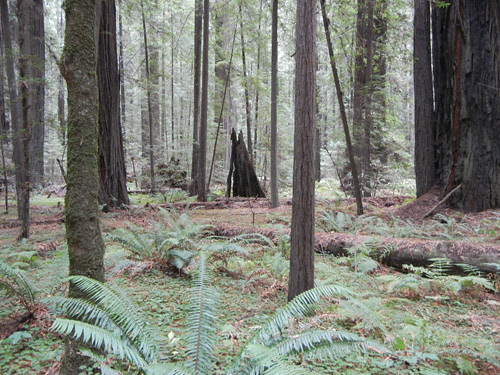 Avenue of the Giants, Humboldt Redwoods State Park, California _ 7542