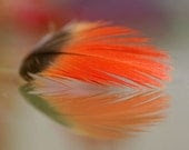 Feather in full bloom - TahGroenPhotography