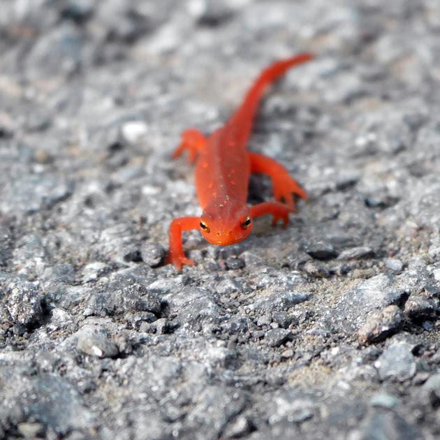 Ed Gaillard: animals &emdash; Eastern (Red-Spotted) Newt, Prattsville NY