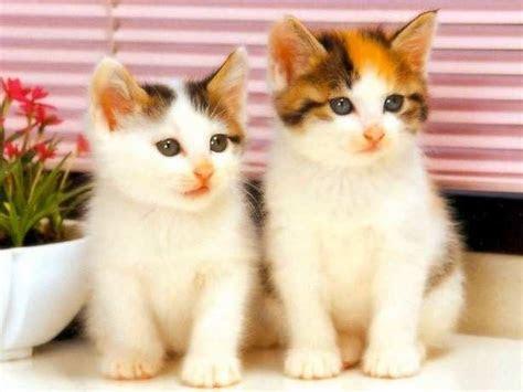 gambar wallpaper kucing lucu keren blog teraktual