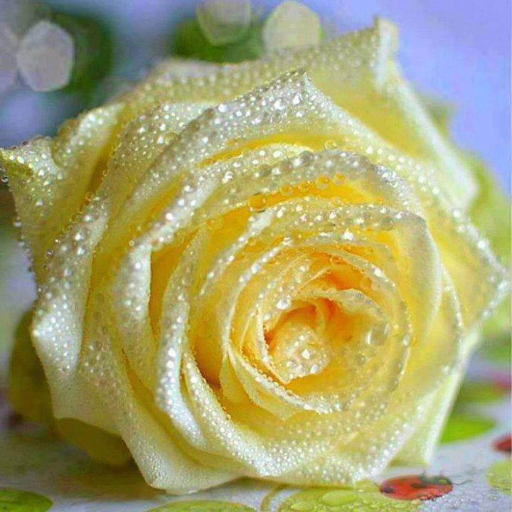 Awesome Rained Rose Flowers Photo 34673469 Fanpop