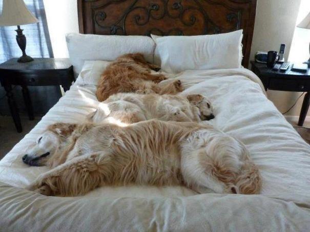 varios-cachorros-na-mesma-cama