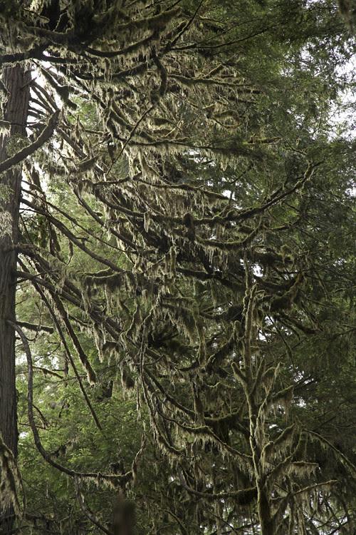 tree limbs with moss, Prince of Wales Island, Alaska