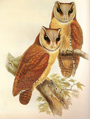 Oriental Bay Owl (Bay Owl) Phodilus badius (Ho...
