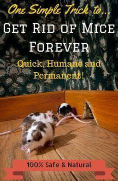 17 Best ideas about Getting Rid Of Mice on Pinterest   Peppermint oil mice, Diy mice repellent