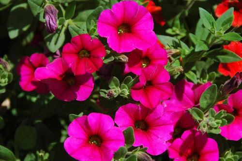x Calitunia 'Purple Pink'