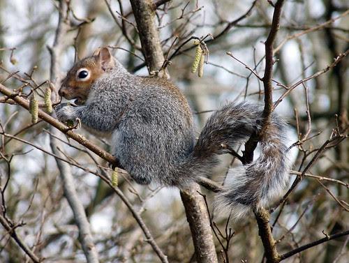 12055 - Grey Squirrel at RSPB Ynys-Hir