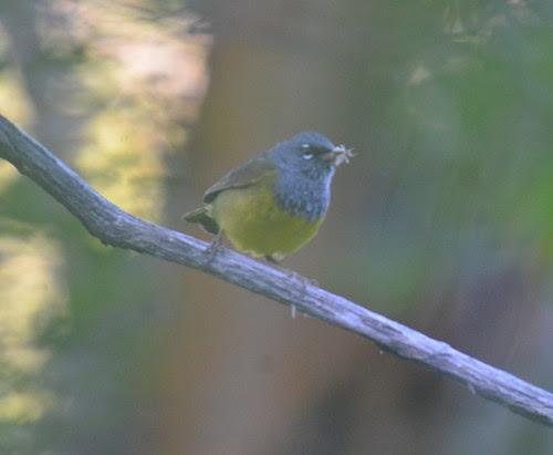 MacGillivray's Warbler (217)