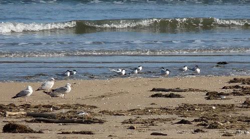 12398 - Sandwich Terns at Burry Port