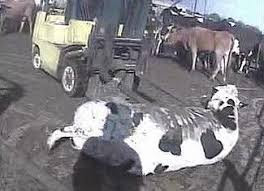a downer cow is shown