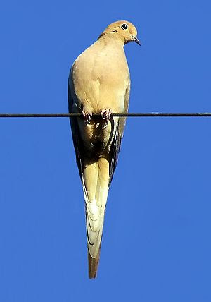 Mourning Dove perched on a wire.
