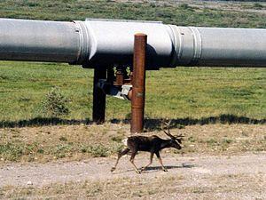 Photo of caribou walking alongside the Trans-A...