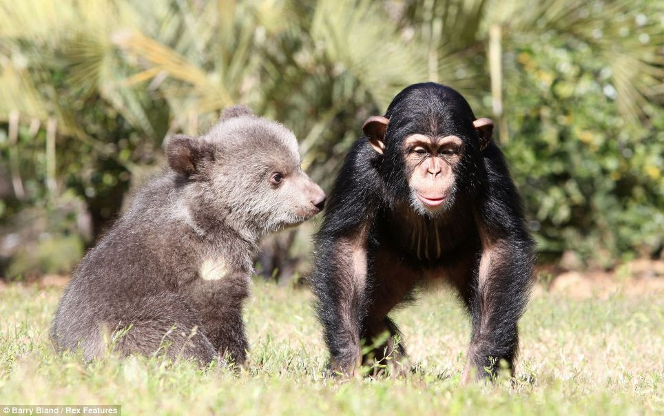 The five-month-old bear and 16-month-old chimp live at the Myrtle Beach Safari Park in South Carolina