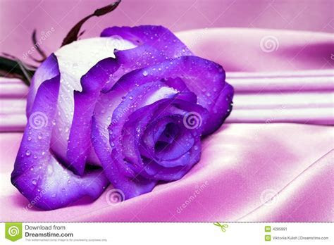 Violet Rose With Water Drops Stock Image   Image: 4285891