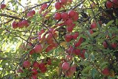 Fruits à notre camping