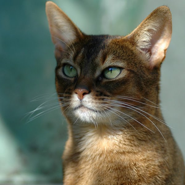 Abyssinian Cat Wallpaper