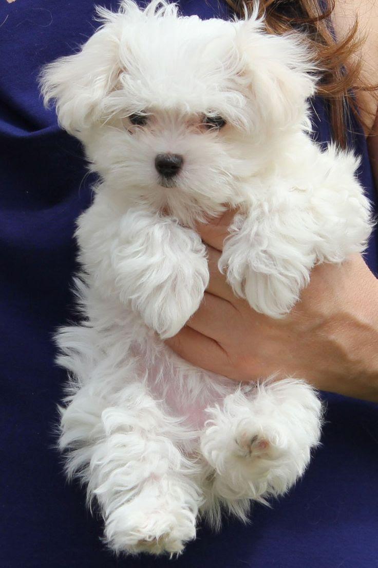 Maltese Puppies For Sale In Louisiana USA
