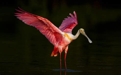roseate spoonbill waving wings desktop backgrounds