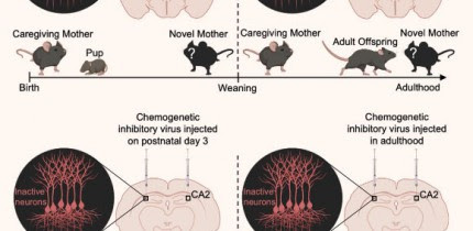 Laham et al. show that mice form memories of their mother within days after birth and that these memories persist into adulthood. Image credit: Laham et al., doi: 10.1016/j.celrep.2020.108668.