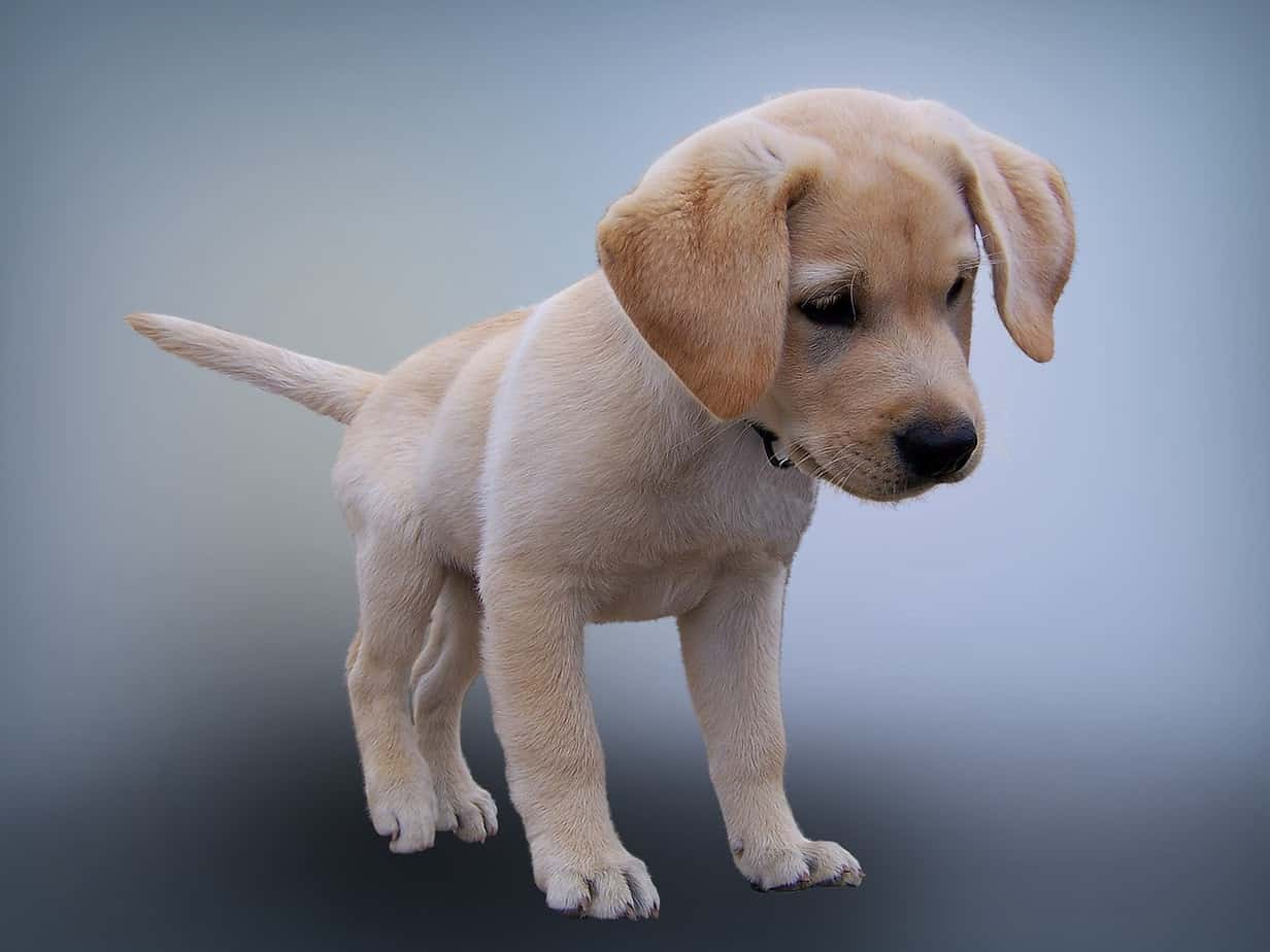 Labrador Puppies for sale in Wales | DogsandPuppies.co.uk