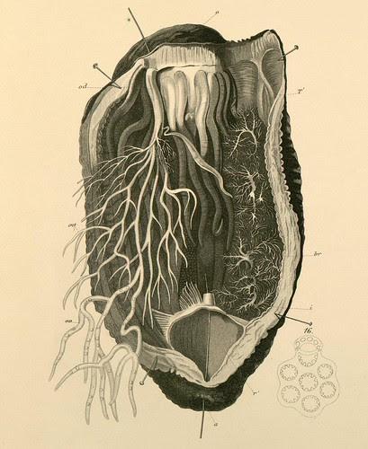 echinodermata a