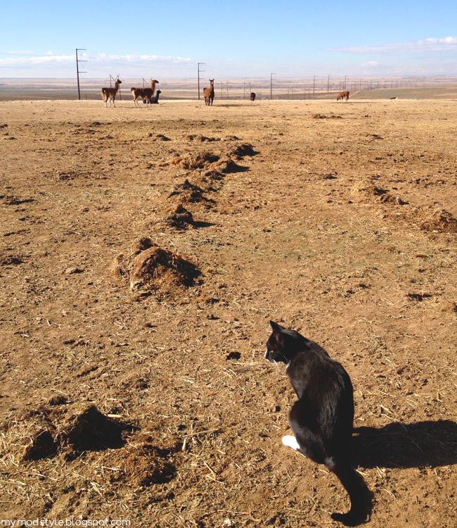 FARM Llamas and cat