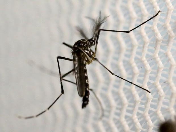 Aedes aegypti no laboratório da Oxitec, em Campinas. O mosquito é transmissor de doenças como a dengue, chikungunya e do vírus zika, causador da microcefalia (Foto: Paulo Whitaker/Reuters)