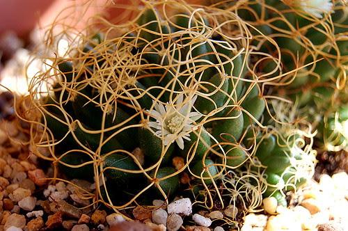Mammillaria decipiens subp. camptotricha
