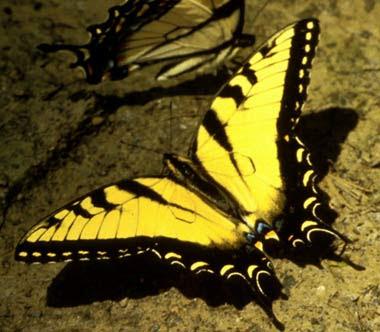 Mariposa Tigre Mariposapedia