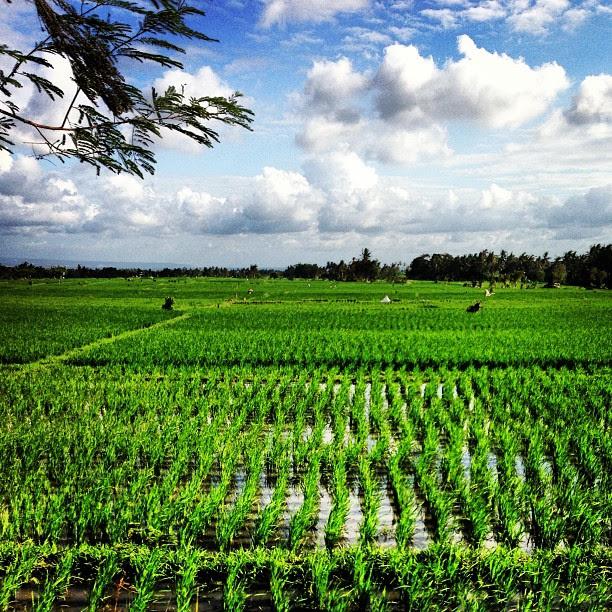 Riding through the padi field in #bali heading to #tanahlot #travel #kerobokan #bike