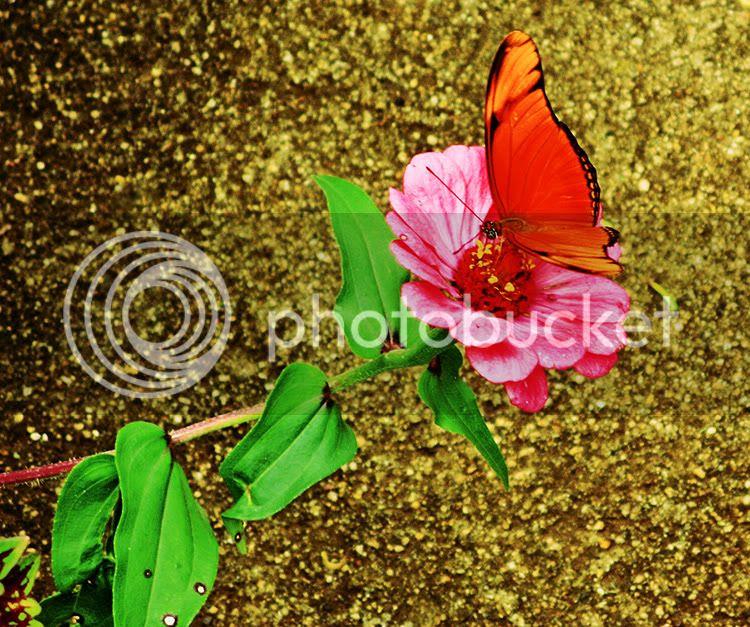 Mariposa naranja posada sobre una flor de color rosa