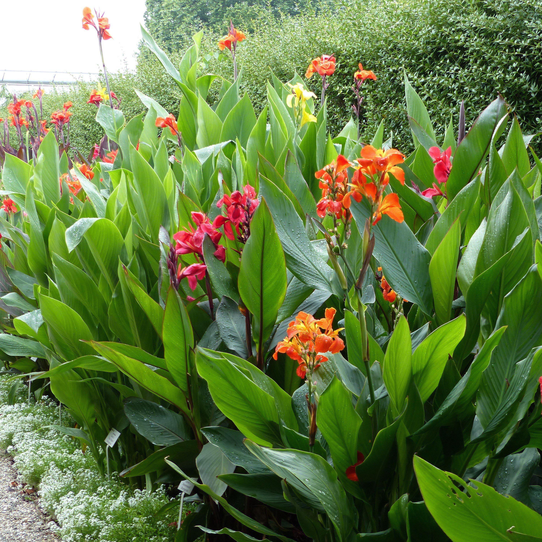 Canna Orange Beauty |Orange Canna Rhizomes | Orange Canna ...