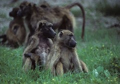 Baboon relatives gazing