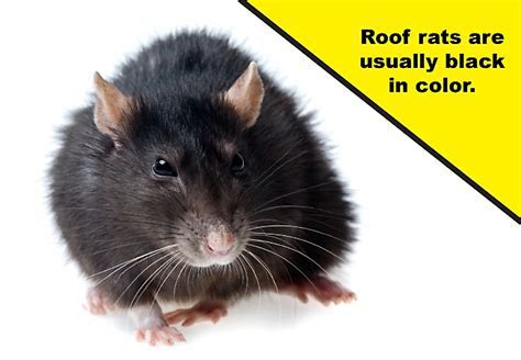 How To Get Roof Rats Out Of Your House   The Best Rat Of 2018