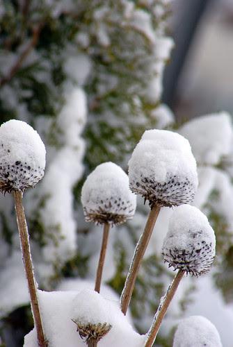 snow capped echinacea