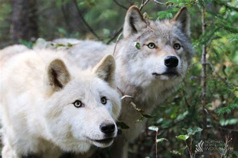 About Wolves   Northern Lights Wolf Centre   Rocky Mountains Golden BC