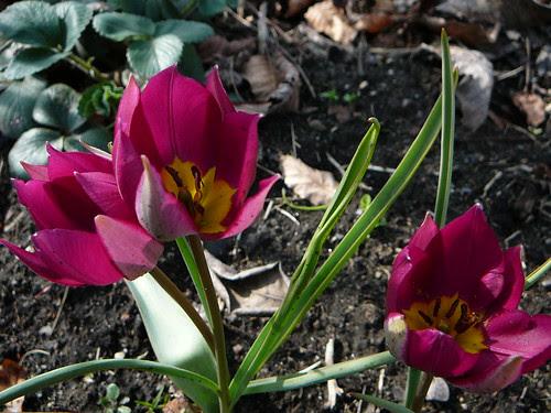 Tulpen 2008 (05)