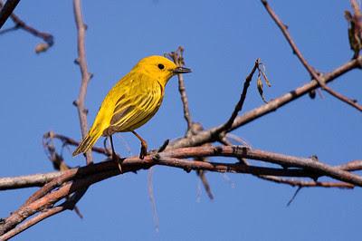 Yellow warbler at the John Heinz National Wildlife Refuge