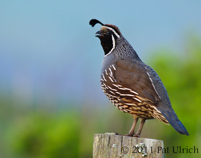Quail song - Pat Ulrich Wildlife Photography