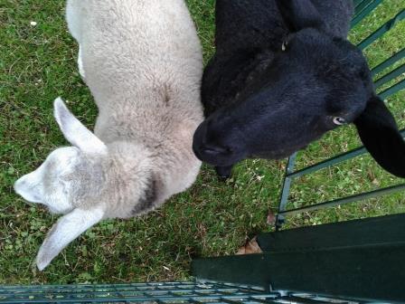 Schaf 1 und  2